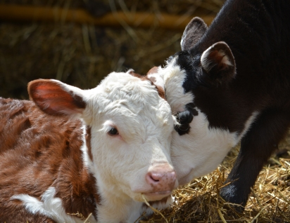 Hereford and Crossbred Calf Snuggle.jpg